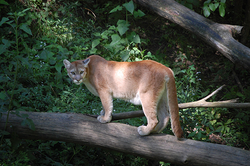 Study Shows Mountain Lions Fear The Sound Of Human Voices