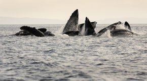 Humpback Whales Are Gathering in Huge Numbers. Why?