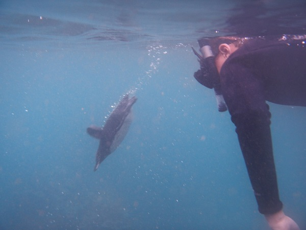 Swimming with penguins in the Galapagos