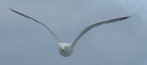 Seagull in Scotland