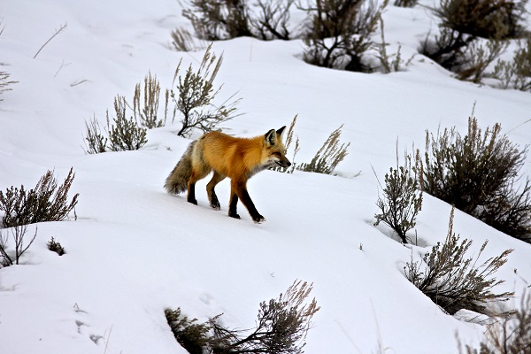 A lone red fox trotting through the stillness of winter in Yellowstone National Park.