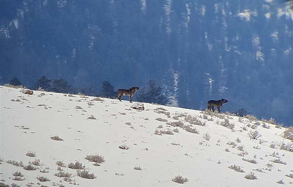 First glimpse of the Lamar Canyon wolf pack upon entering the Lamar Valley in Yellowstone National Park.