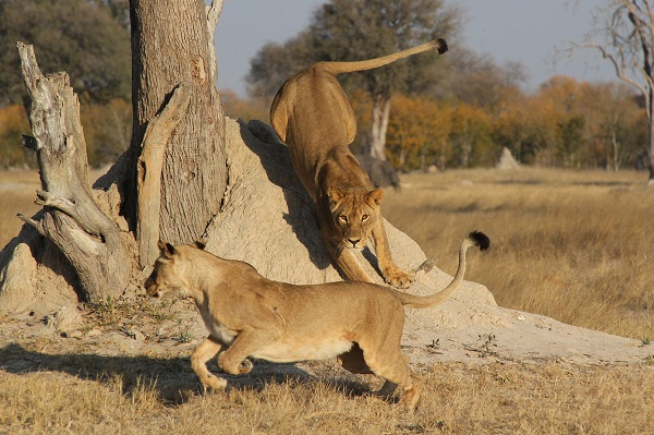 Lionesses playing in Hwange Zimbabwe
