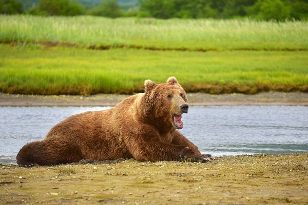 Grizzly bear watching tour