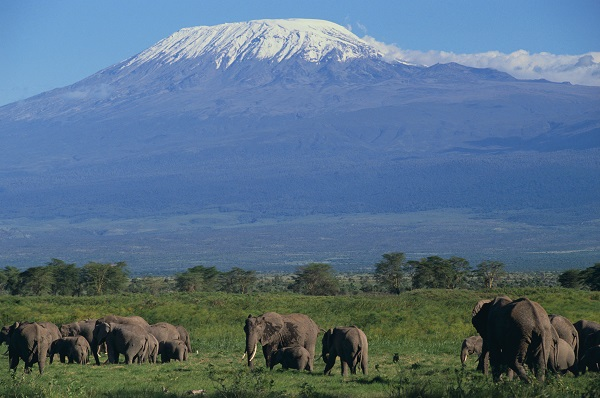 African Elephants Beneath Kilimanjaro