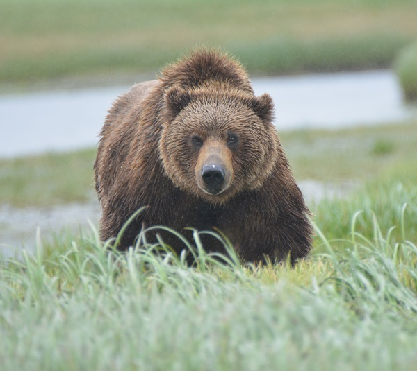 Brown bear stare