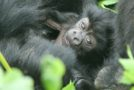 Traveler Video: Ultimate Gorilla Photo Safari