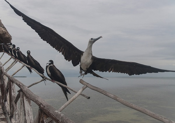 Frigatebird in Mexico