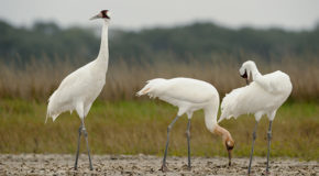 Whooping Crane Recovery a Victim of Federal Budget Cuts