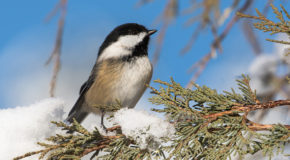 Wildlife Photo of the Week: Chickadee in the Snow