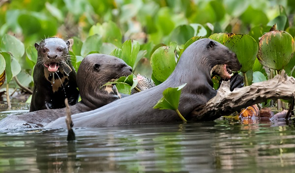 Wild river otters in the Pantanal, Brazil
