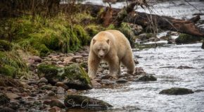Majestic Spirit Bears of British Columbia