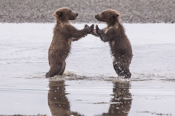 Grizzly bear cubs playing pattycake