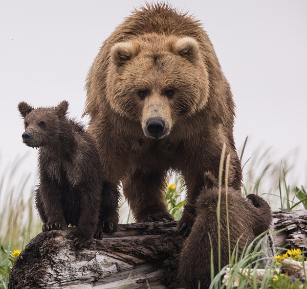 Grizzly bear mother and cub