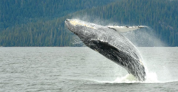 Whale breaching in BC