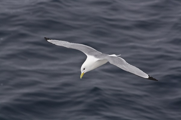 Flying kittiwake