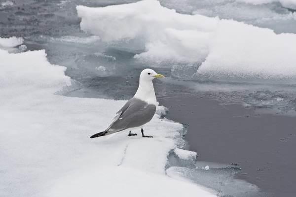 Kittiwake in Svalbard