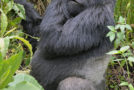 Wildlife Photo of the Week: Silverback Gorilla in Africa