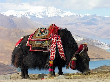 Tibetan Yak standing bedecked in a colorful saddle with the Himalayas in the background