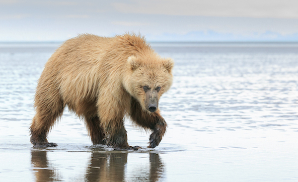 Brown bear on the beach in rippling waters