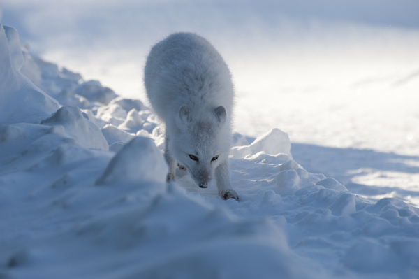 Arctic fox in the ice and snow