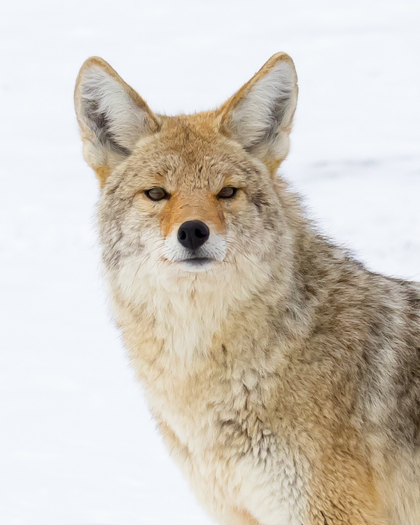Coyote gazes into the camera in the snow