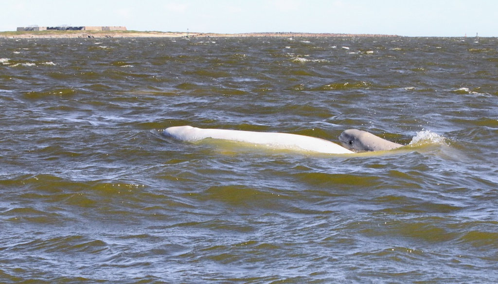 Baby beluga with mother in Churchill