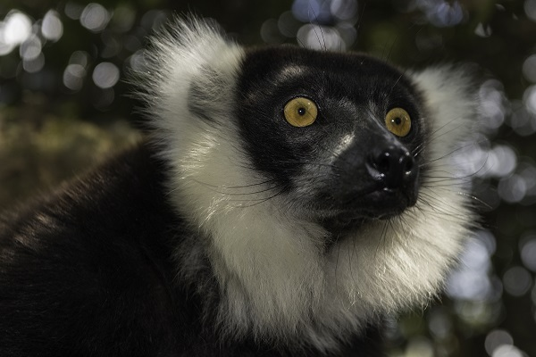Black ruffed lemur