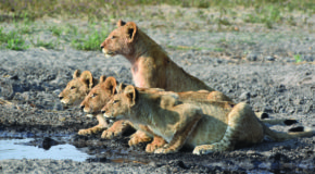 Wildlife Photo of the Week: Cubs Stare Down Prey