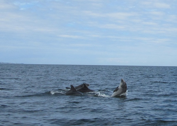 Dolphins off the coast of Scotland