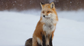 Wildlife Photo of the Week: Red Fox Sitting in Snow
