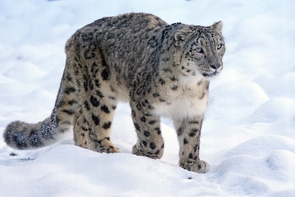 Snow Leopard prowling through the snow