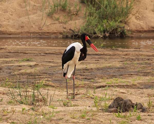 Wild stork in South Africa
