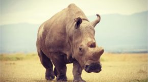 Could We Have Done More to Help Save the Northern White Rhino?