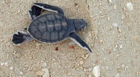 Traveler Stories: Green Sea Turtles Hatching in Borneo