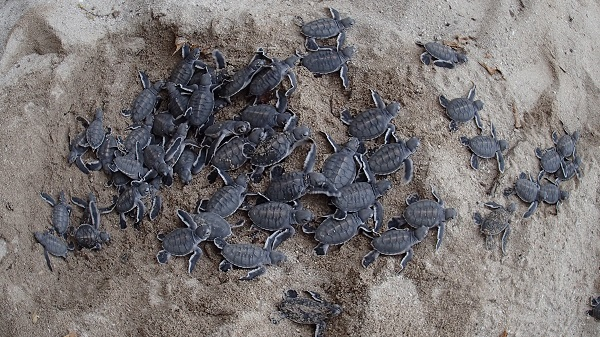 Baby green sea turtles hatching