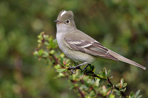 Fio fio bird in Chile