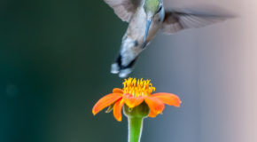 Wildlife Photo of the Week: Ruby Throated Hummingbird
