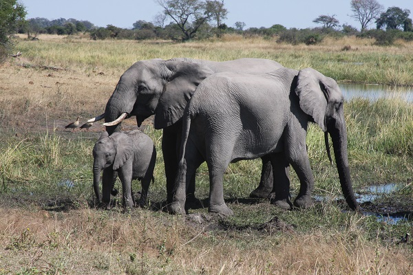 Elephant family in Botswana