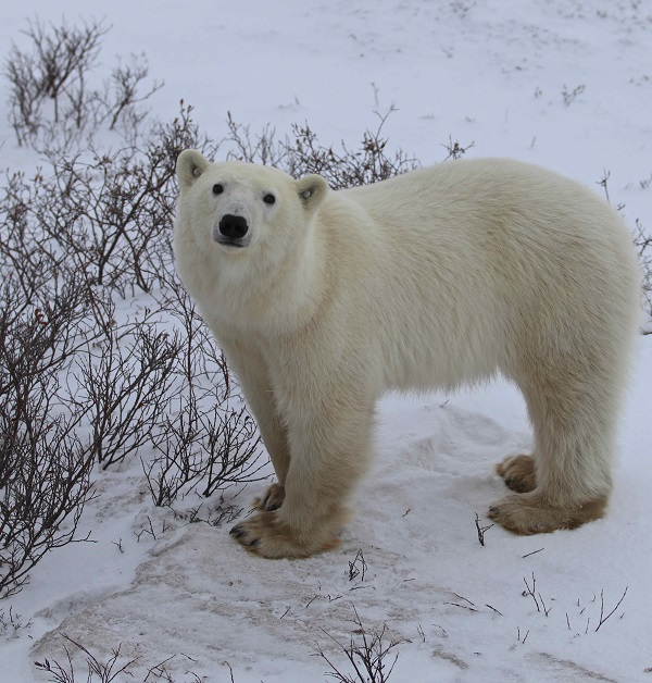 Polar bear sow on the Churchill tundra