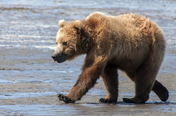 Brown bear walking in Alaska