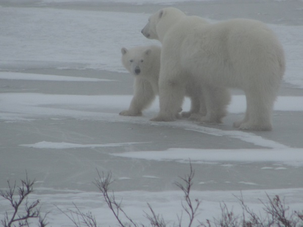 Polar bear cub and mother in Churchill