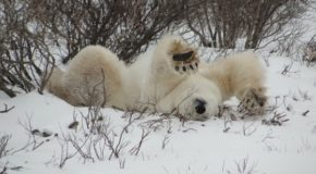 Traveler Story: Classic Polar Bear Adventure