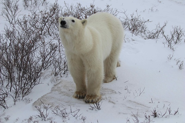 Wild polar bear near Churchill, Manitoba