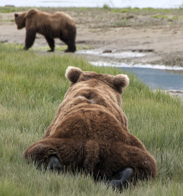 Wild grizzly bears in Alaska
