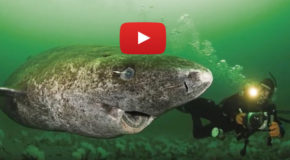 Video Encounters with Mystifying Greenland Sharks