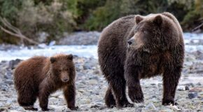 Traveler Story: Surrounded by Grizzly Bears in Alaska