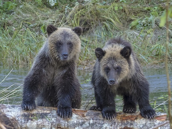 Grizzly bear cubs in BC