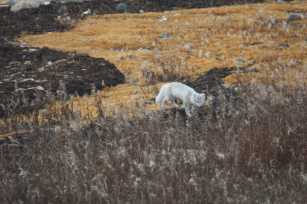Arctic Fox, Tundra, Churchill