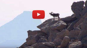 Video: Bighorn Sheep Return to Their Yosemite Homeland